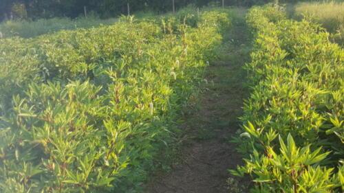 Farm Fresh GONGURA